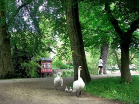A family of swans out for a walk 1600px